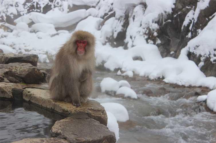 snow-monkey-park
