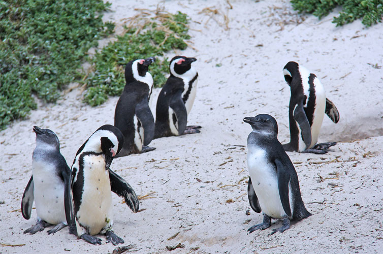 penguin-boulder-beach