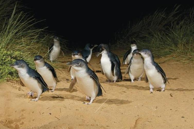 Phillips Island Australia